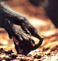 Chimpanzee hands use stone tool