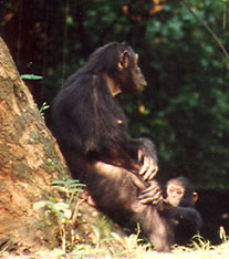 Chimpanzee mom and baby in the forest