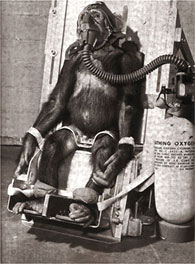 Space chimpanzee strapped for training