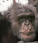 Meet some of the chimpanzees now in sanctuary who were used in HIV/AIDS research—Tom